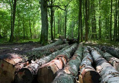 جنگلهای سر به فلک کشیده غور به تاریخ پیوسته است