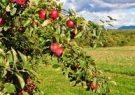 امسال هم در غور یک هزار باغ میوه ایجاد شد