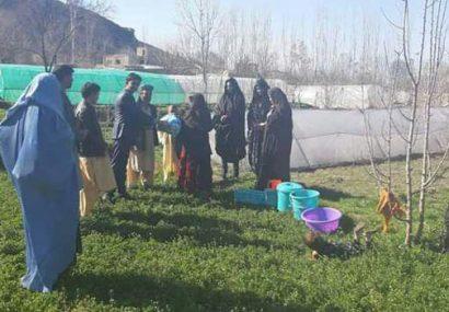 توزیع تخم سبزیجات به ۵۰۰ خانم زراعتپیشه در بادغیس
