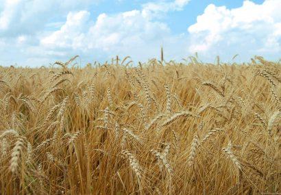 گندمزارهای هرات امسال چند برابر پُربارتر میشوند