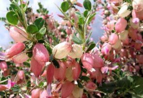 اهالی بادغیس رویش گل پسته را جشن گرفتند