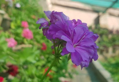 بهار هرات با این گلها دیدنی است