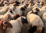 نیروهای امنیتی هرات نگذاشتند ۱۰۰ راس گوسفند به ایران بروند