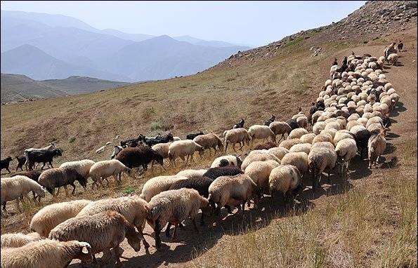 طالبان ۸۰۰ رأس گوسفند را در غور ربودند