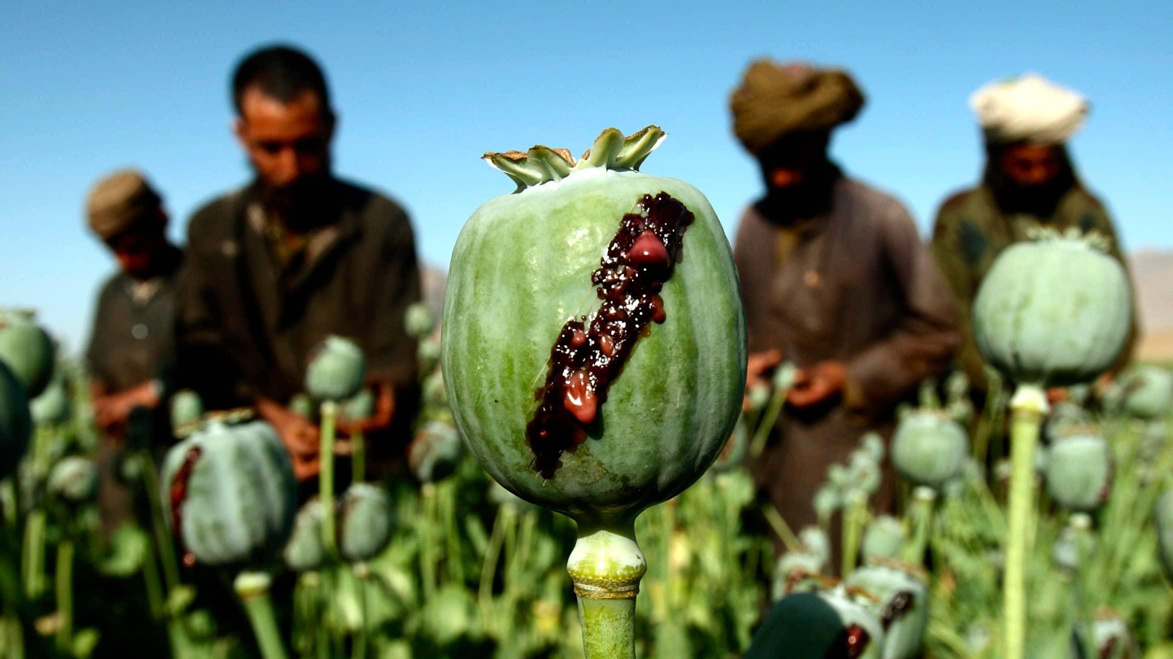 طالبان در دو راهی صلح و تجارت مواد مخدر