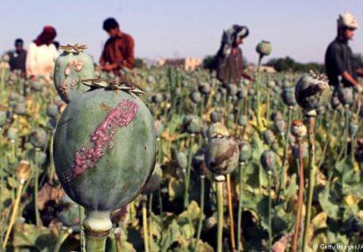 طالبان امسال تا توانستند در زمینهای بادغیس تریاک کاشتند