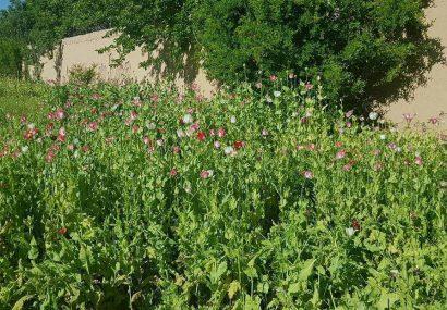 پولیس هرات چهار جریب زمین تریاک را تخریب کرد