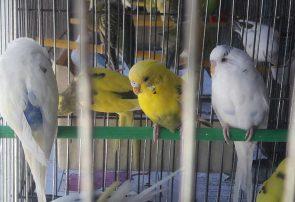 پرندگان خانگی زیبا و خوش آواز هرات