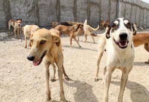 سگهای ولگرد در هرات روزانه ۱۰ نفر را راهی شفاخانه میکنند