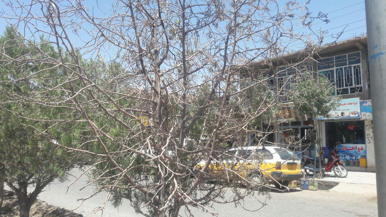 درختان بلوارهای برخی نواحی هرات در حال خشک شدن هستند