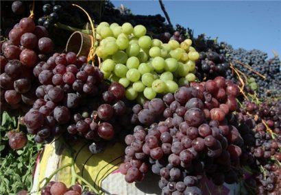 کشت انگور در هرات امسال ۱۵ درصد نسبت به پارسال افزایش یافته است