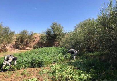 پولیس هرات هفت جریب زمین زیر کشت چرس را تخریب کرد