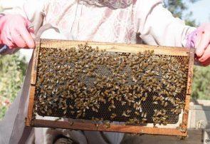 کندوهای عسل هرات امسال ۱۵۰ تن عسل تولید کردند