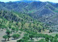 زنگ خطر انقراض جنگل پسته بادغیس به گوش میرسد