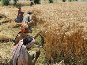 ضربه خشک سالی به زراعت غور/حاصلات زراعتی نسبت به هرسال پایین است