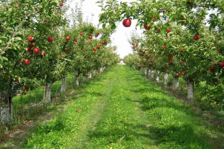 غور در تولید سیب خودکفا شده است