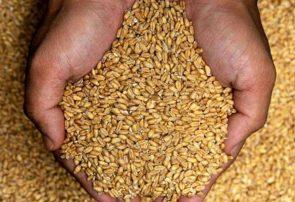 ۱۰۰ تُن گندم و کود برای دو هزار کشاورز کمک میشود
