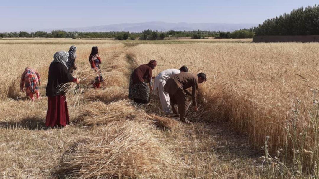 دو برابر پسته و ۱۱ درصد گندم افزایش محصولات داشتیم